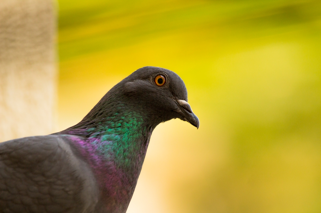 Most common sp of pigeon found in both urban as well as rural areas.