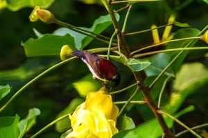 Purple-Rumped-Sunbird2
