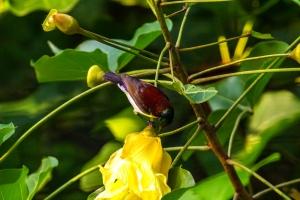 Purple-Rumped-Sunbird2