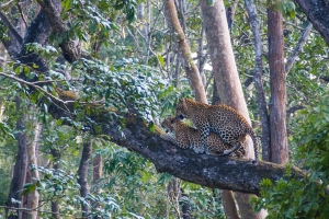 The Kabini Scene - Mating Leopards2